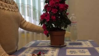 Загадочные домашние цветы - О чём видео:выращивание и уход за цветами.
