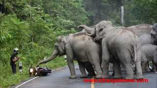 elephant herd attacks motorbike