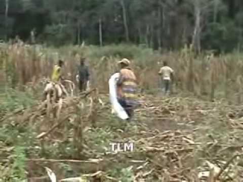 récolte de Maïs en république centre africaine