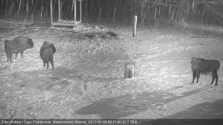 HIT! Kamera zarejestrowała walkę żubrów z wilkami!