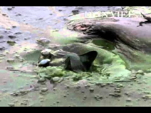 Rùa (Thuỷ quái) ăn thịt mèo chết