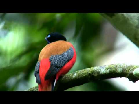 Scarlet-rumped Trogon male