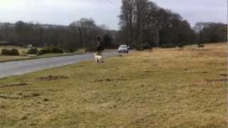 How To Stop A Young Dog From Chasing Sheep With A Remote Spray Collar ( Not Citronella )
