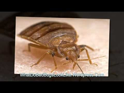 What Do Bed Bugs Look Like YouTube