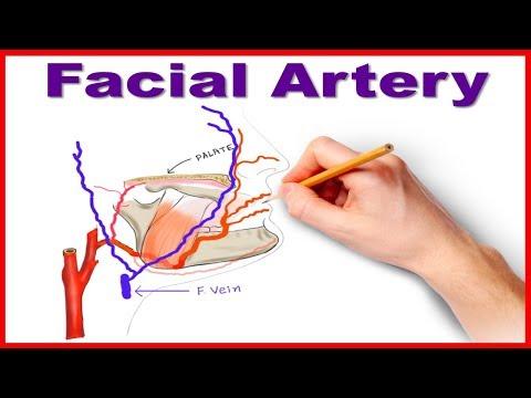 Facial Artery Course and Branches