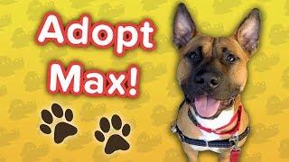 Adopt Max! // Shepherd Staffordshire Mix // Adoption Featurette