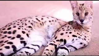 Funny And Adorable Big Cat Video!
