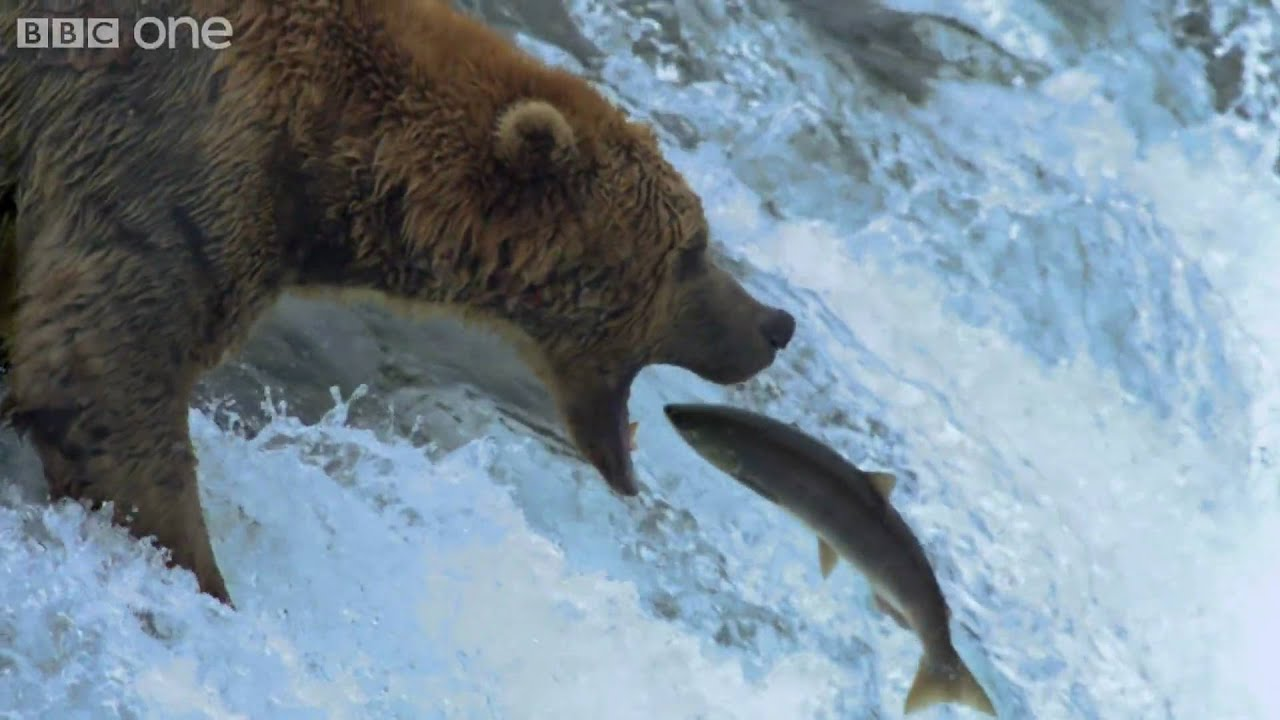 Black Bear Eating Salmon