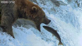 HD: Grizzly Bears Catching Salmon - Nature's Great Events: The Great Salmon Run - BBC One thumbnail