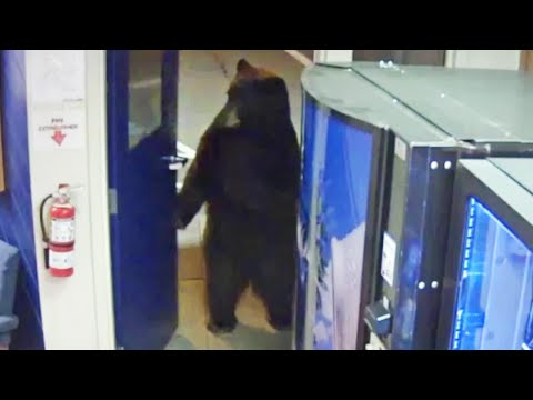 Wake Up Call - Video: A Bear Walks into a CA Police Facility...
