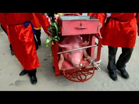 Vietnam: pig-slaughtering festival comes under fire