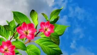 Распускаются цветы - красивое видео. Футаж для видеомонтажа бесплатно.(Спонсор видео: http://banket-restoran.su/products?utm_source=social&utm_medium=youtube&utm_campaign=1307056 - Доставка еды для фуршета Для ..., 2016-05-27T05:18:16.000Z)