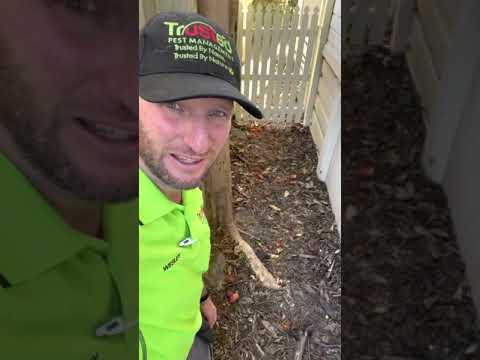 The issues with tree root system next to your house ! Termites can follow tree roots.