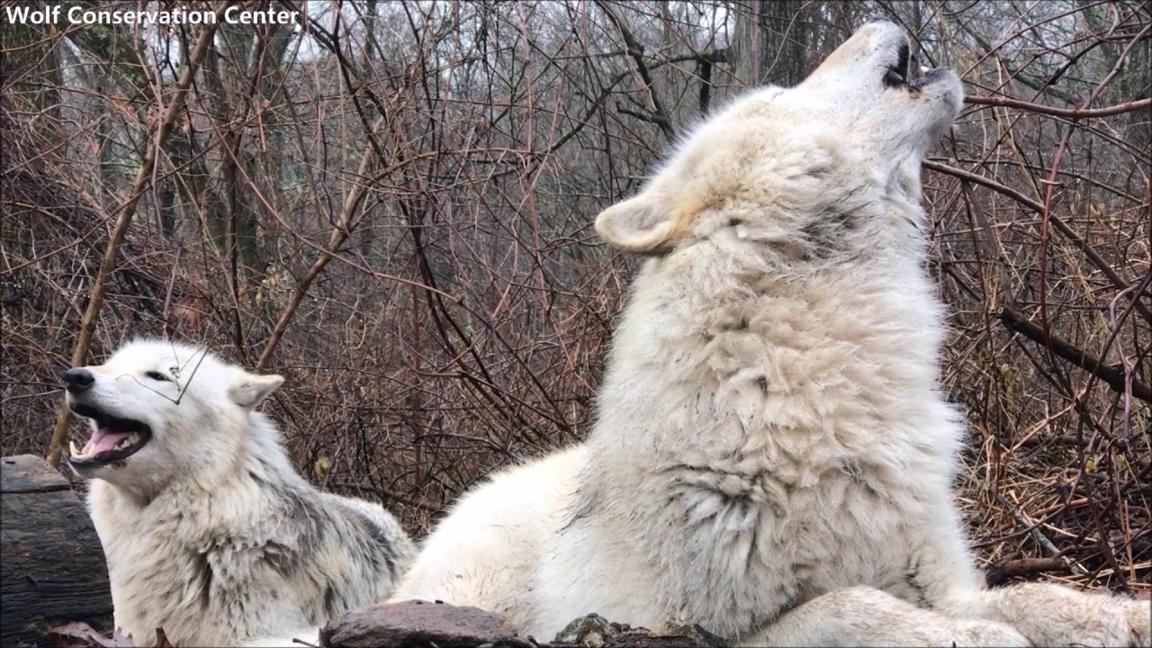 Brother and Sister Wolf Howl Duet