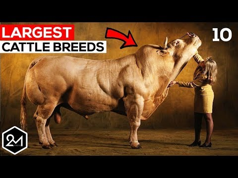 Top 10 Biggest Cattle Breeds In The World - Biggest Cows & Bulls!