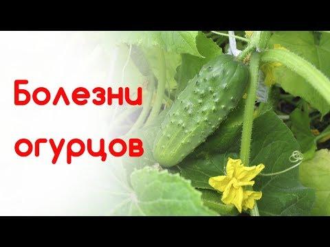 Вредители огурцов в открытом грунте и теплице с фото