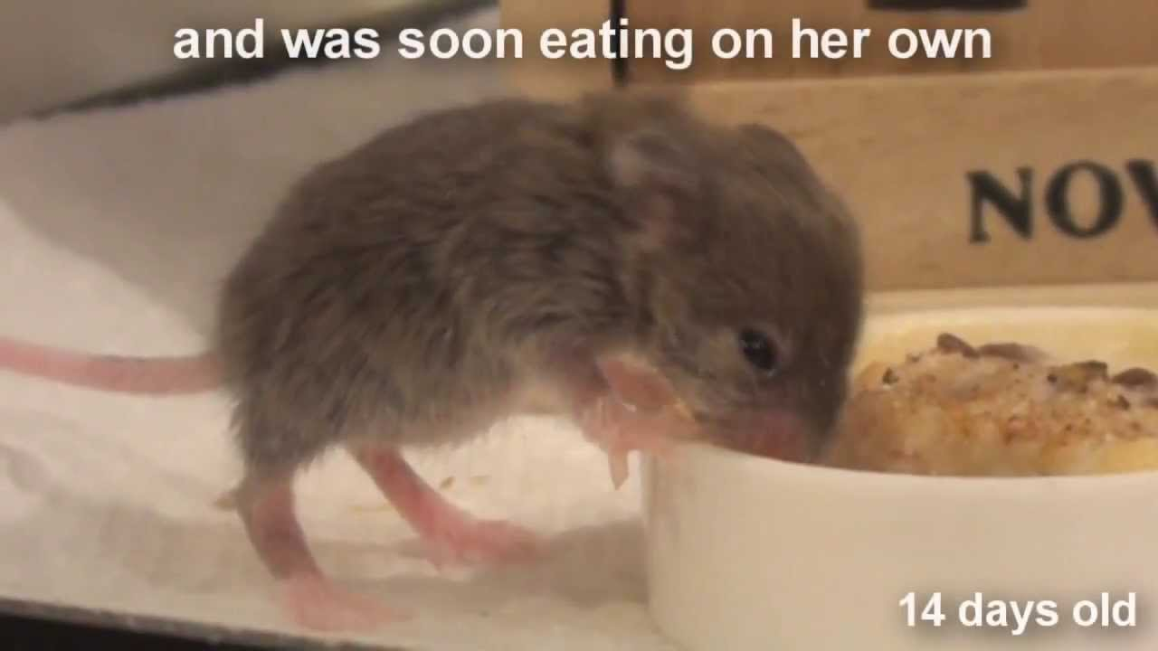 Raising a baby mouse 1010 weaning youtube geenschuldenfo Choice Image