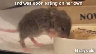 Raising a Baby Mouse 10/10 Weaning