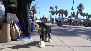 CHINESE CRESTED DOG MR MUGGENS VENICE BEACH CALIF SEPT 2018