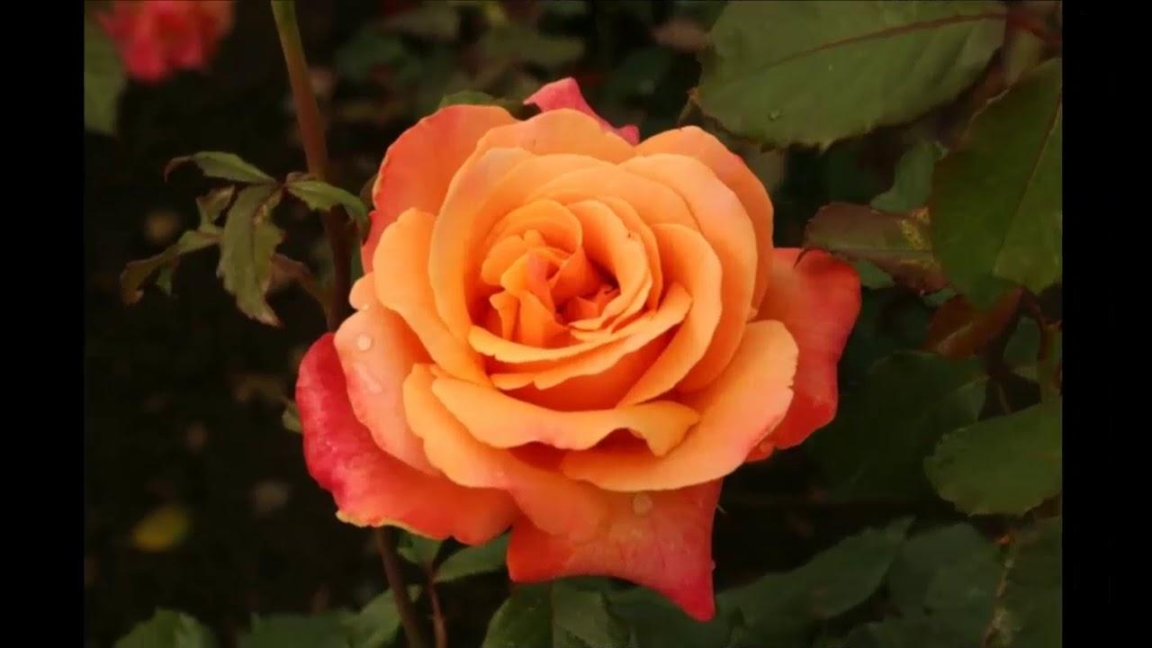 Чайно-гибридной розы купить саженцы сегодня стараются многие дачники и владельцы участков, так как эти цветы имеют сказочную красоту и аромат.