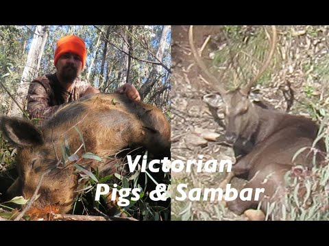 24 Hours Of Victorian Hunting (Chasing Pigs & A Sambar Stag)