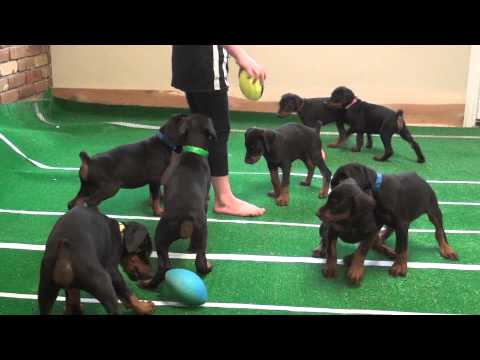 Doberman Puppy Bowl