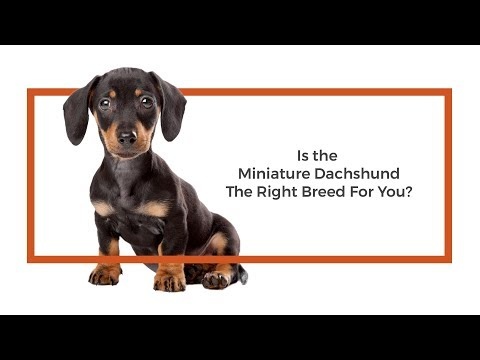 Is the Miniature Dachshund the right breed for me?