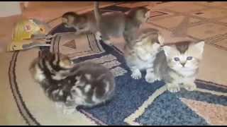 шотландские котята в продажу в Актау
