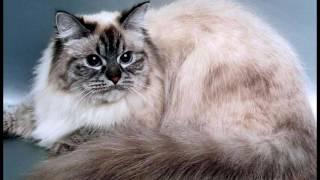 Порода кошек. Невская маскарадная кошка.Очень красивая кошка