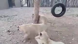 Собака всегда себя защитит