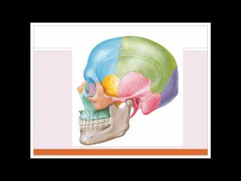 Cráneo Anatomía - YouTube
