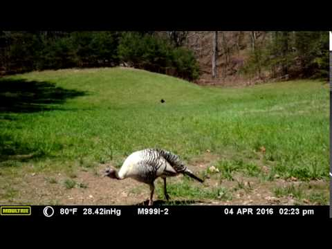 Albino Turkey Caught By Moultrie M-999i