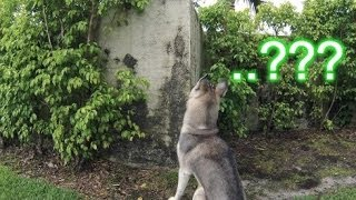 Husky Jumping Wall?!? You'll Never Believe Why