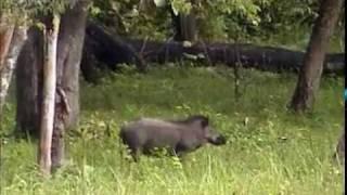 Muthanga Wildlife Sanctuary Wayanad Kerala  Jungle wild boar video by Shirishkumar Patil