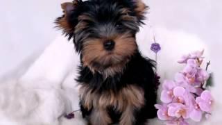Yorkshire Terrier Welpen In Künzelsau