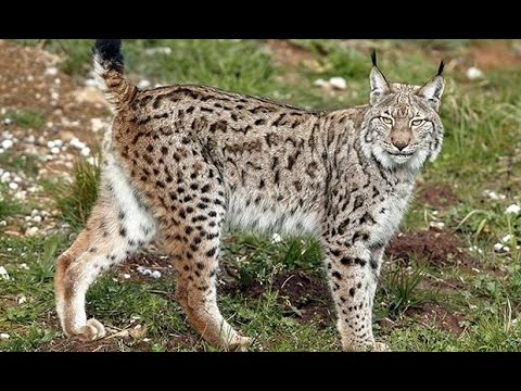 The World's Most Endangered Animal : Documentary on the Last Lynx in Spain