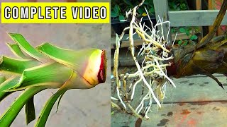 Yucca Plant ki Cutting Kab or Kese Lagain || Complete Video