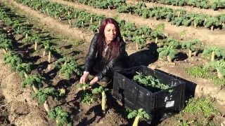 Picking Organic Kale at New Sprout Organic Farms