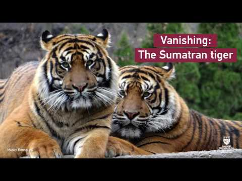 Vanishing: The Sumatran tigers