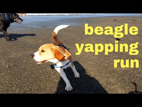 Cute Beagle Yapping while Playing with Dogs on Beach