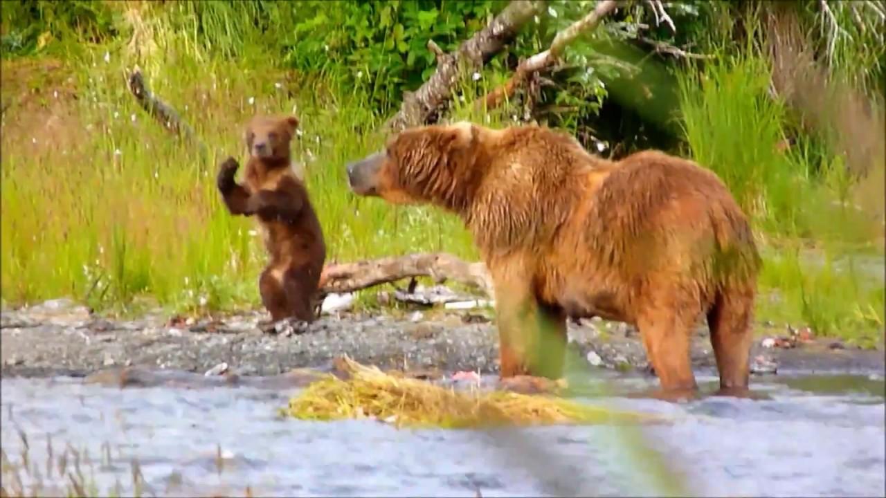 Guns Wallpaper Hd Kodiak Brown Bears Hunting And Playing At A Wildlife