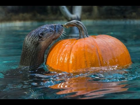 Otters & Monkeys Playing With Pumpkins Will Make Your Day