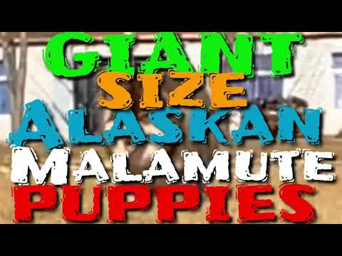 giant-size-alaskan-malamute-puppies-available-for-sale-video-compilation-copper-coat-malamute-pups