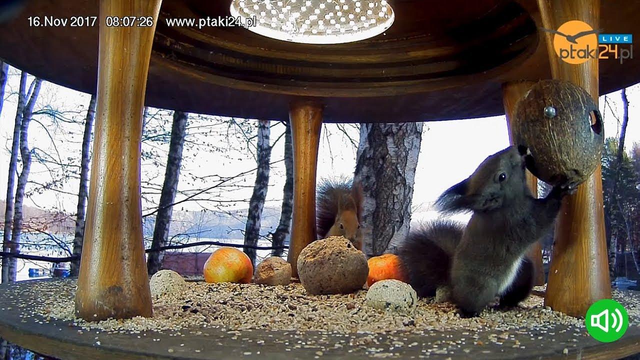 Wiewiórki 🐿️ i sikorki w karmniku na Wyspie