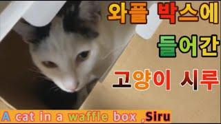 A cat in a waffle box ,Siru (와…