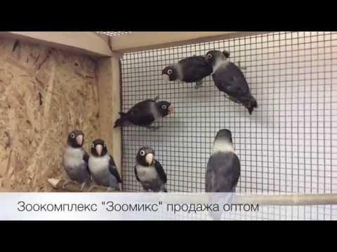 Попугаи неразлучники чёрные (Agapornis personatus) продажа оптом