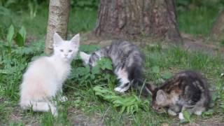 Питомник мейн-кунов Totorocoon: котята помета V
