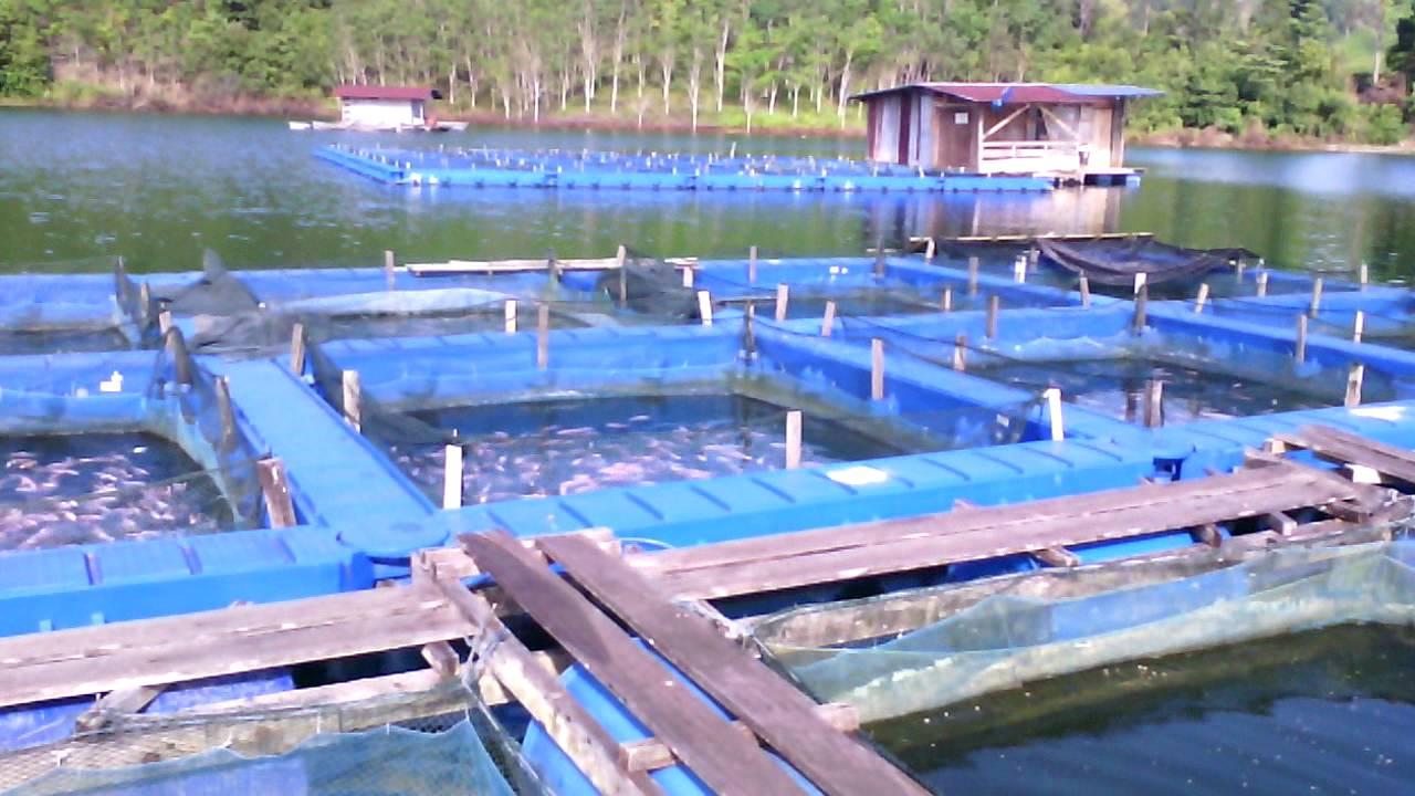 Sangkar ikan talapia (Hidro Btg Ai) - YouTube