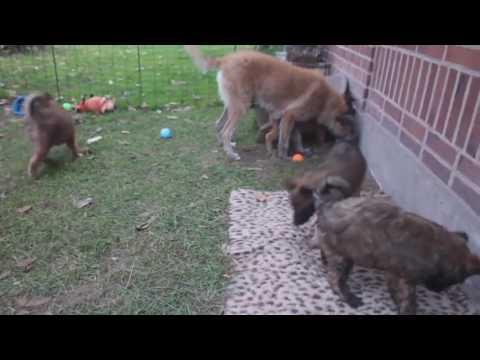Belgian Shepherd - Groenendael,Tervuren,Malinois,Laekenois - Difference Explained.mp4
