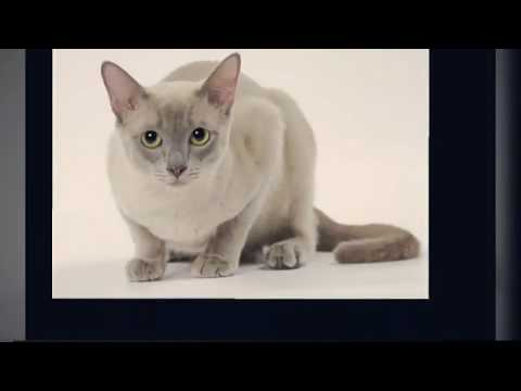 Best Intelligent Cat Breed